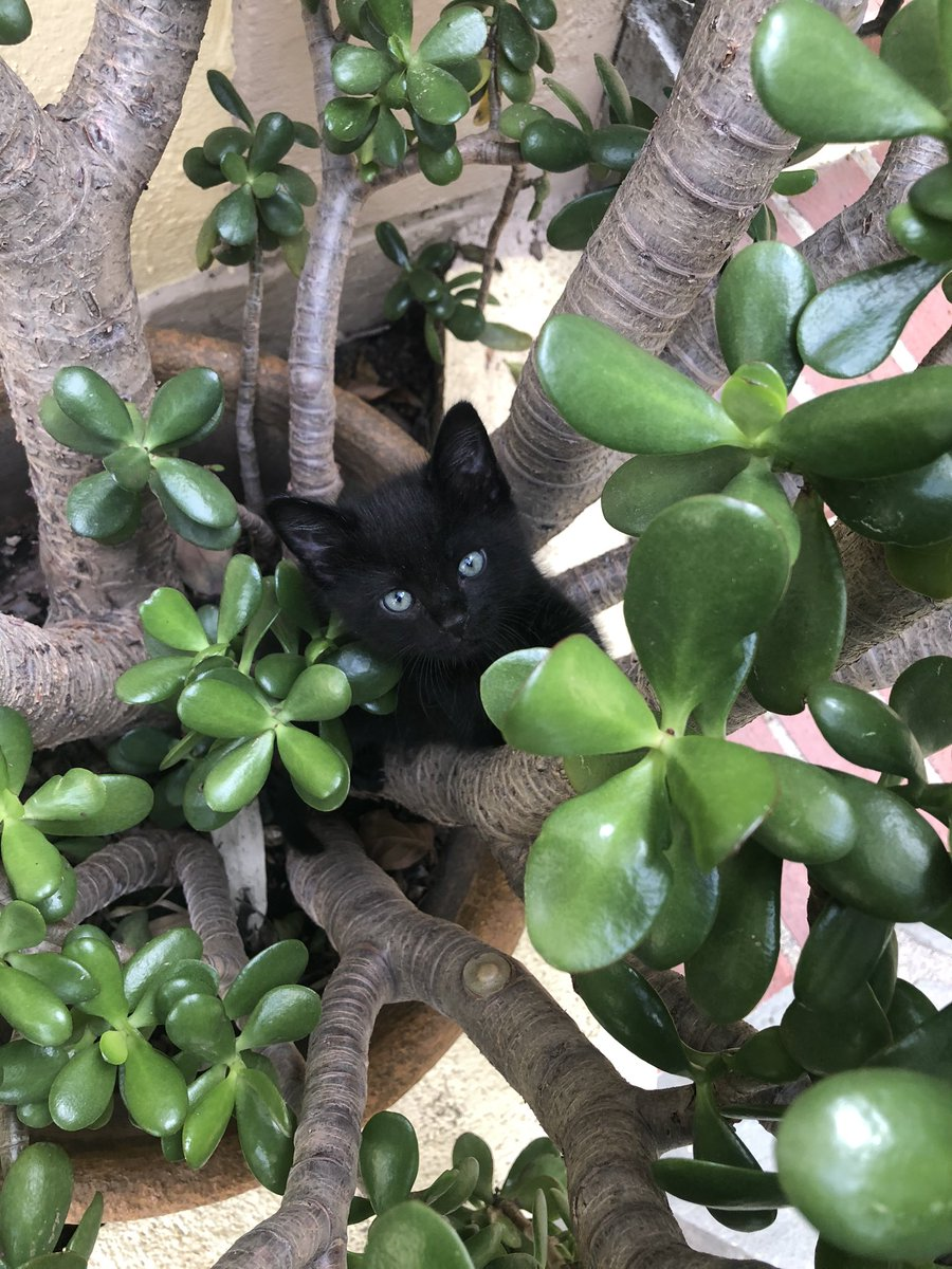 """Eight Ball climbing his first """"tree.""""  #kittens #LookAtMe #TreeTime @WilliamdeVry1pic.twitter.com/8yGUiwikfh"""
