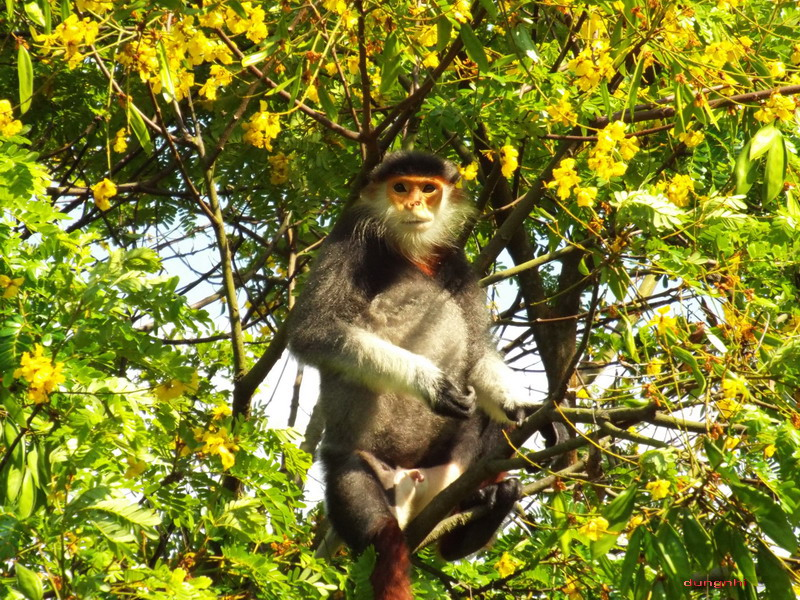 redshankeddouclangur - primatequeen Son Tra, Da Nang, Vietnam may 15, 2020 ... #travel,#photography,#redshankeddouclangur,#wildanimal,#animal,#sontra,#vietnam,#fujifilm,#primatequeen,#primate,#forestpic.twitter.com/162LJItA4h