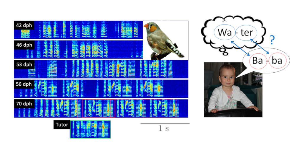 Fully funded PhD position on Vocal learning in infants & songbirds in our #NCCR_EvolvingLanguage. Exiting & innovative collaboration between neuroinformatics @RichHahnloser at INI & #LanguageAcquisition @DeptCompLangSci, @ISLE_uzh, More info eth-gethired.ch/en/jobs/detail…