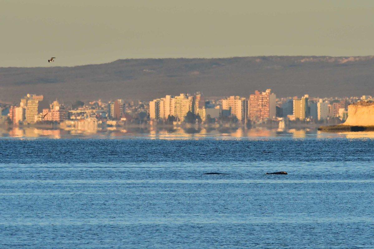 Ya se ven cerca de la ciudad las primeras ballenas de la temporada.  ¡Bienvenidas! https://t.co/xLYmVI5V1h