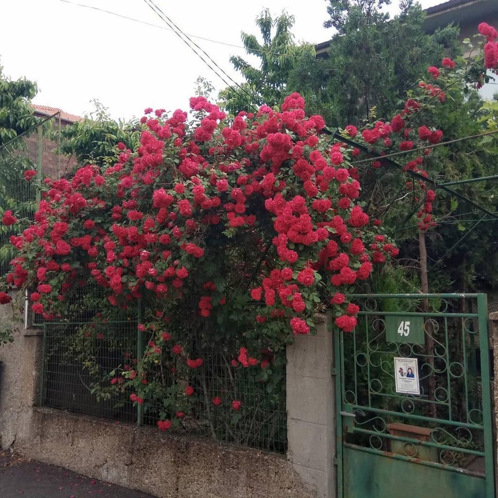 Нека да е цветно. #цвятвсивотата , #рози, #Русе , #roses, #Ruse instagr.am/p/CAXYAlNHYTC/