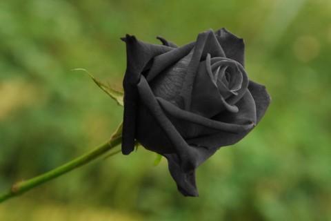 絶滅が危惧されている??妖妙な雰囲気を放つ、真っ黒い薔薇!?