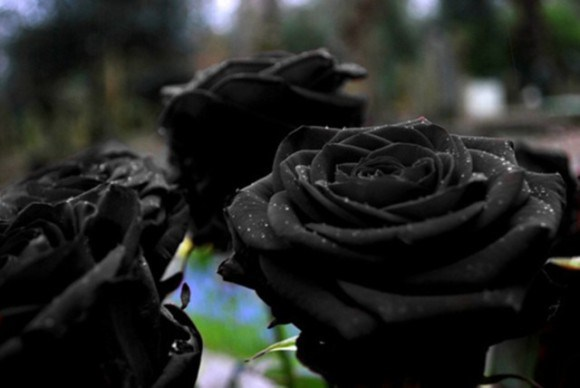 【黒バラ】 トルコのハルフェティ南東部にのみに生息するバラ。 絶滅が危惧されている希少な花だそうです。 花言葉は『決して滅びることのない愛』