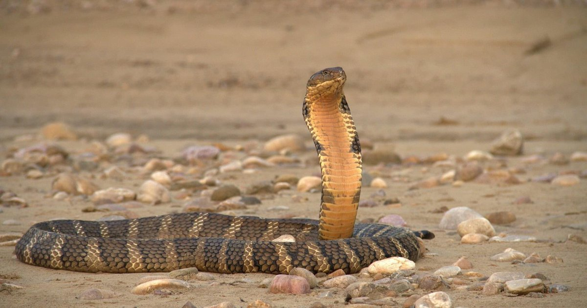 @ParveenKaswan Yes, one of the most 'royal' looking serpent.