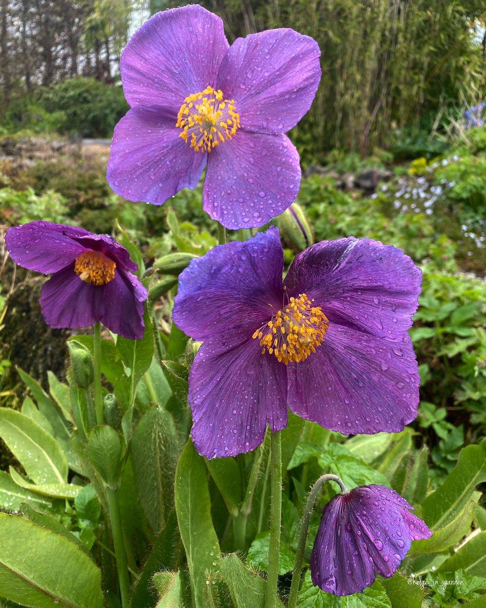 Meconopsis grandis purpur in our May garden. #mygarden #meconopsis #gardeners #Spring #plantspic.twitter.com/qbMMGgYFaQ