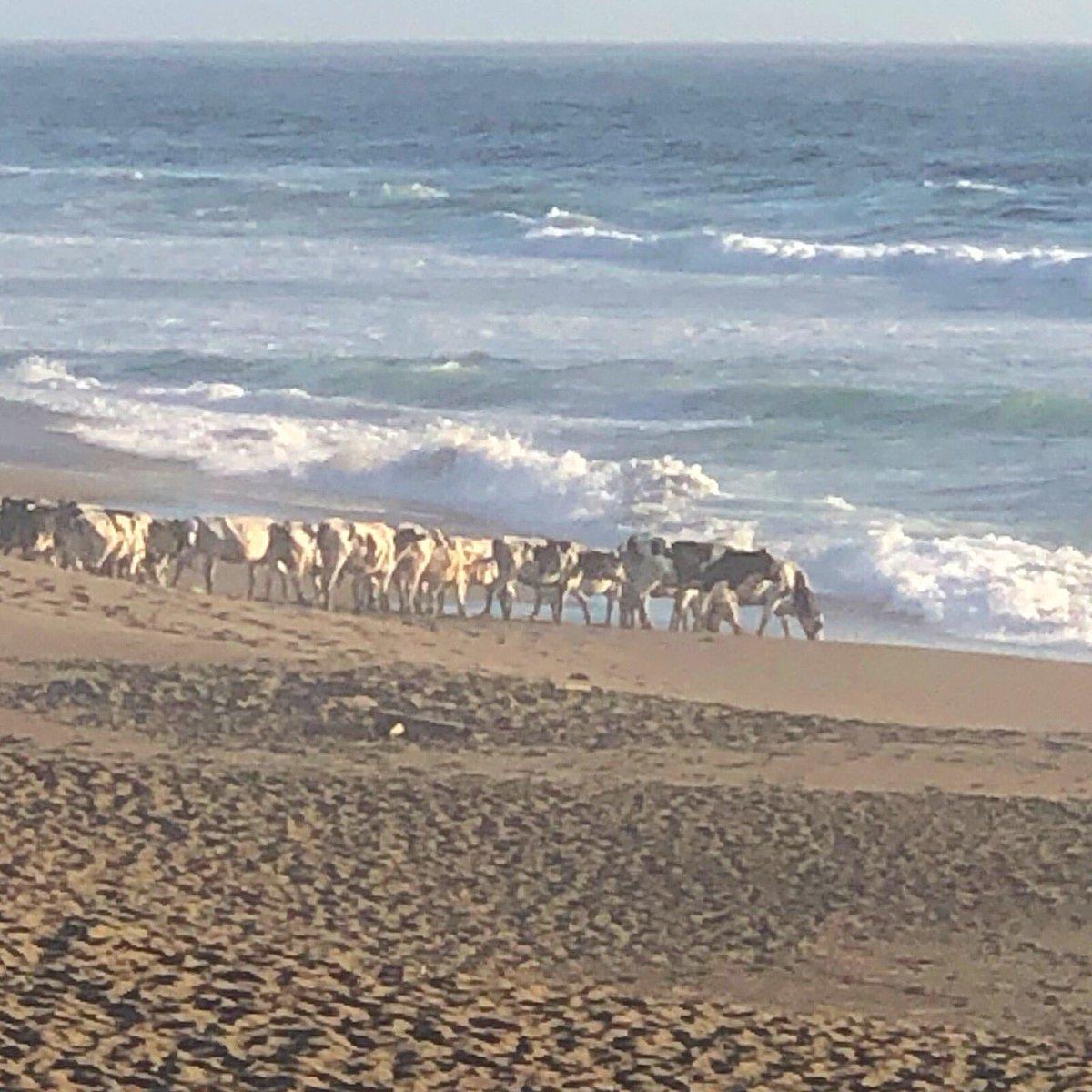 The rare Point Reyes beach cows. (Thx SC) <br>http://pic.twitter.com/K8Q90gnFfg