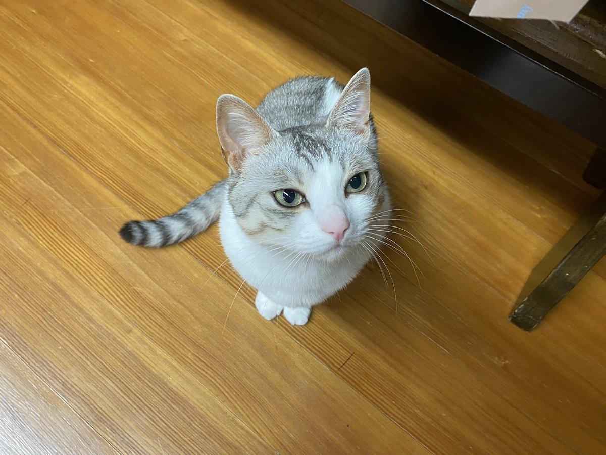 物言いたげな顔。#猫 #大豆姉妹
