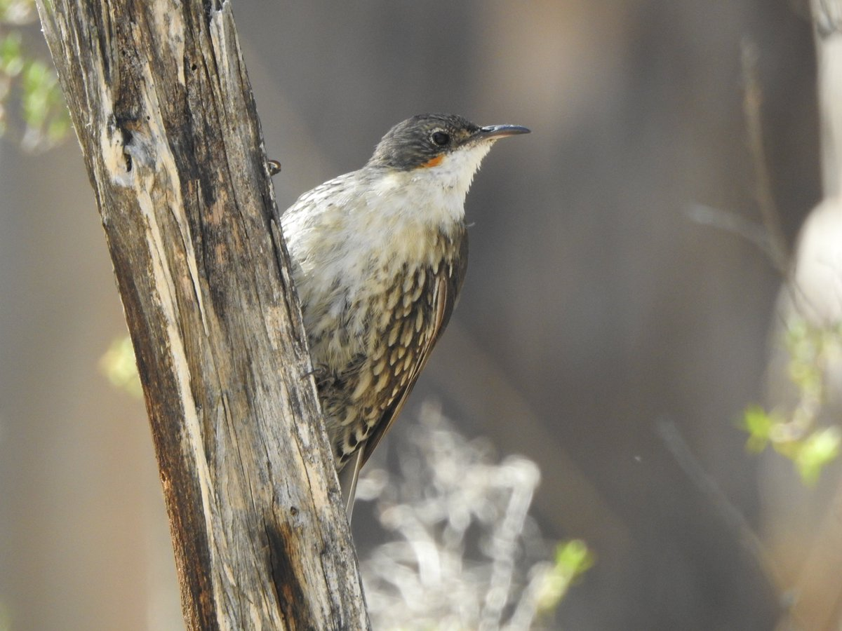 White-throated Treecreepers were busy at Clarkesdale yesterday #birds #Ozbirds #WildOzpic.twitter.com/4I9euYKCtk