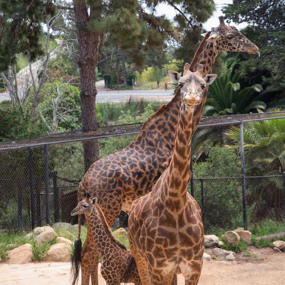Spot the #TongueOutTuesday in this tall trio   . . #giraffe #giraffesofinstagram #giraffes #santabarbarazoo #giraffelove #babyanimal #babyanimals #cuteanimal #adorableanimalspic.twitter.com/mwHtAEvMyS