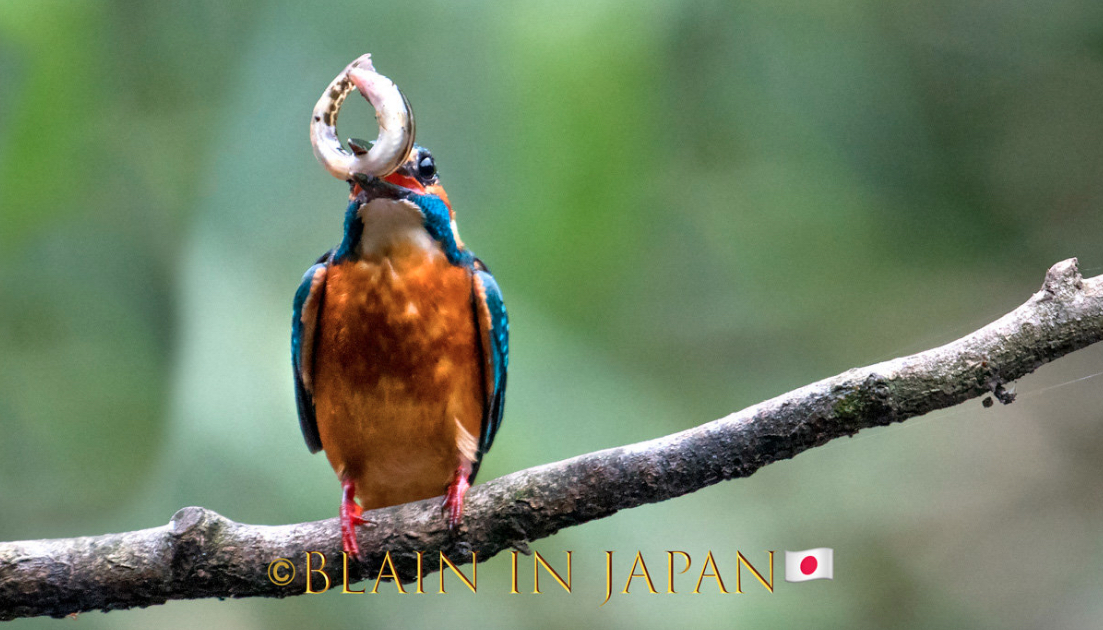 Read our latest newsletter - Kingfishers - Masters of the Aquatic Hunt #Japan #visitjapan #japanfocus #kingfisher #birding #birdingphotography #photography #japandreamscapes #日本 #バードウォッチング #カワセミ #写真 #写真好きな人と繋がりたい  Link: https://bit.ly/2zpZYxnpic.twitter.com/R499Zl059V