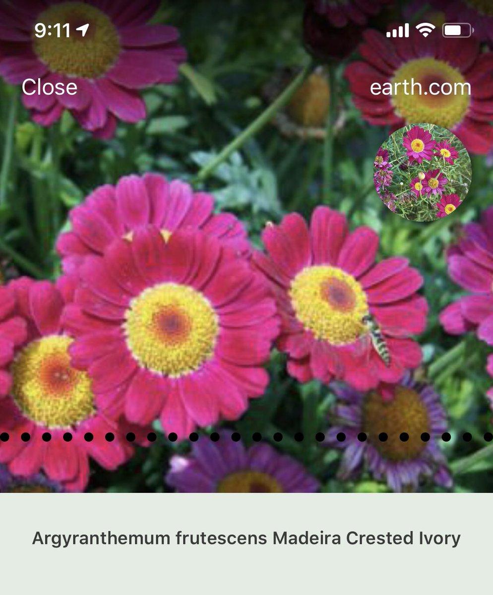 @iambeau Madeira Crested Ivory Marguerite Daisy - Argyranthemum frutescens