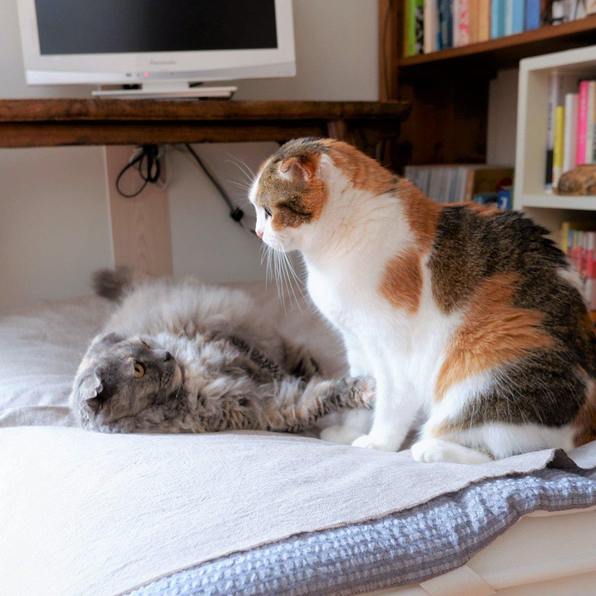 2階の室温が27度を超えるようになってきたので昼寝用の布団を1階にもってきました。ふだんは猫たちの寝場所として、たまに人間が昼寝で使います。  #TLに猫を流す #猫のいる幸せ #猫好き #cat #サビ猫 #三