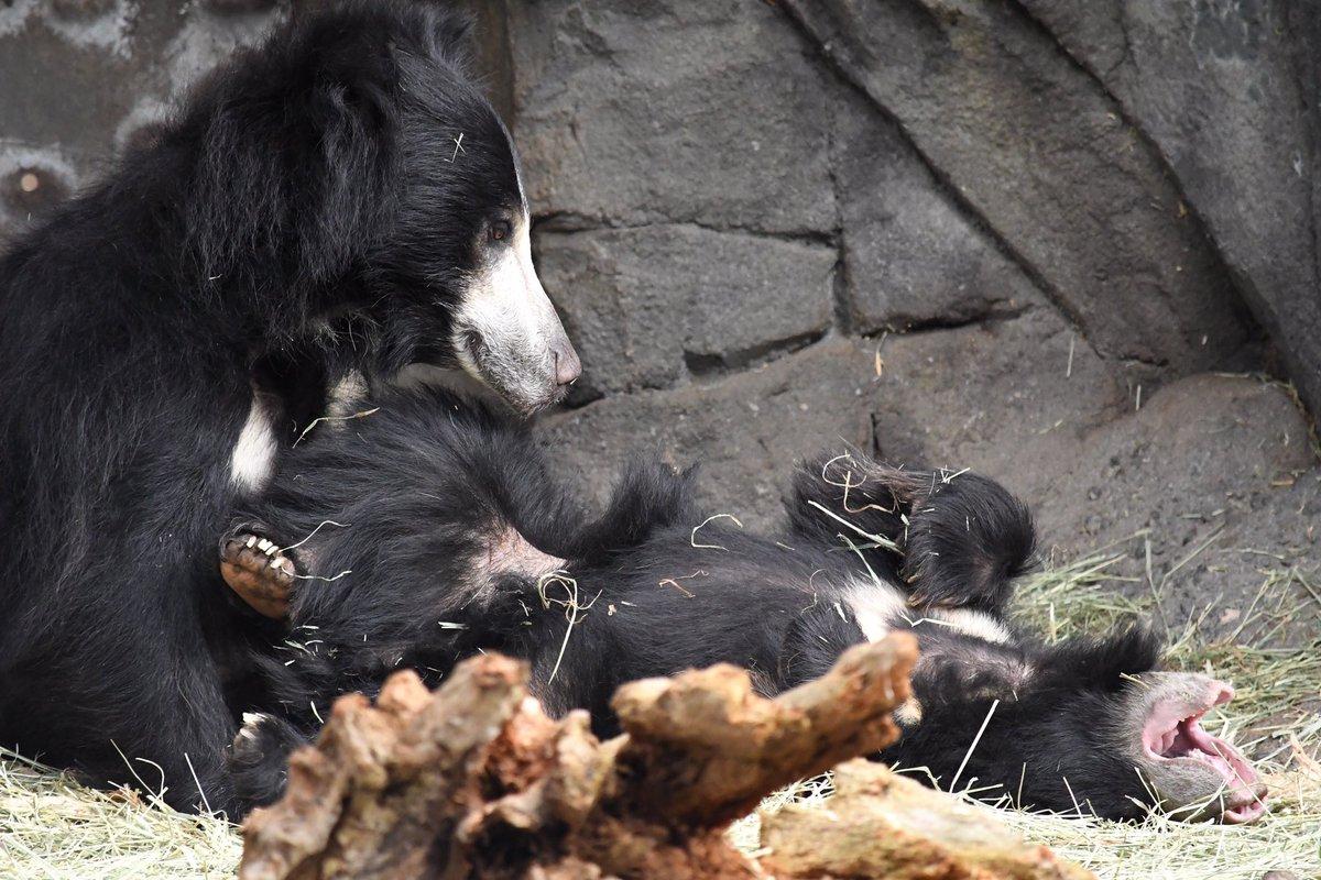 Another lovely moment of Tasha enjoying her cubs.   #slothbears #bears #babyanimals #woodlandparkzoo #zoo2upic.twitter.com/FiqR5pj6K5