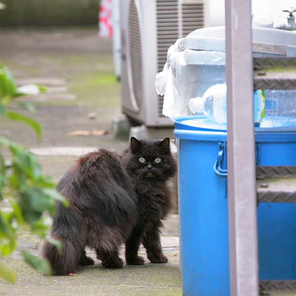 黒いムック ガチャピンはどうした? #ねこ #猫 #cat #gato #chat #外猫 #straycat #ねこ部 #ふわもこ部 #猫好きさんと繋がりたい #cutecats #followme