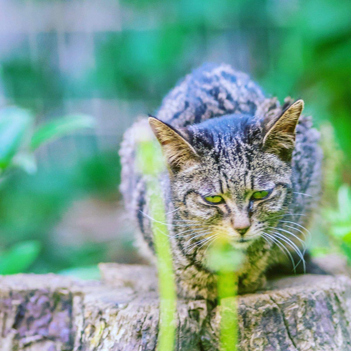 時々魔太郎   #cat #野良猫 #猫 #ファインダー越しの私の世界 #キリトリセカイ