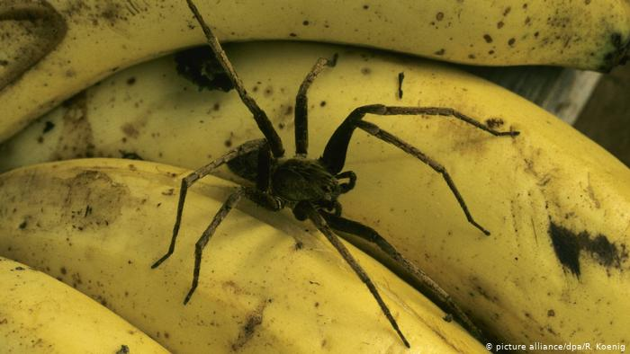 Terror tip #1: Stay away from bananas #deadlyspiders #scarystories https://bit.ly/2TI2Lsv pic.twitter.com/qTnPsyu0Q2