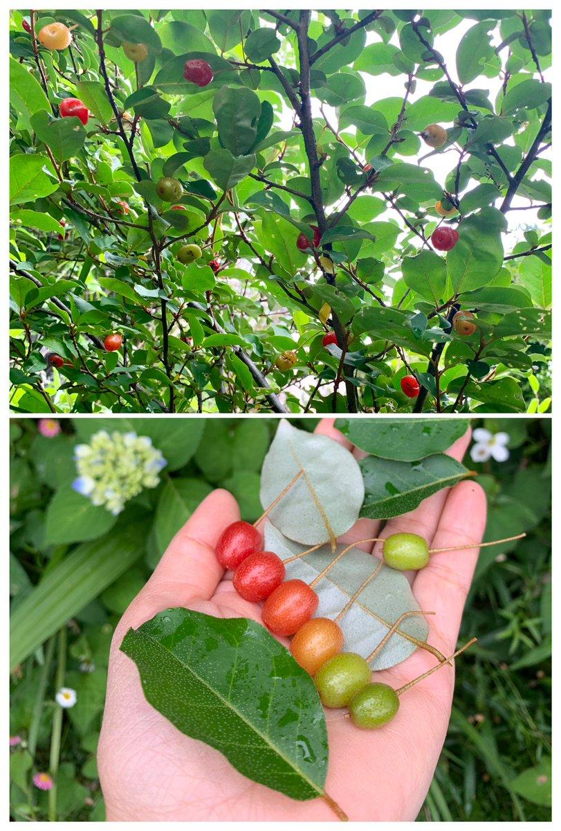 グミの実が綺麗です。我が家のグミは銀葉グミという種類らしく葉の裏が銀色です。緑→黄→赤と色づく実はお菓子のグミそっくりですが、とても渋いです。この渋みはいつか抜けるのでしょうか?今年はグラデーションに並べた実がおもちゃの鉄筋に見えたのでスモークツリーの葉の上に置いてみました。