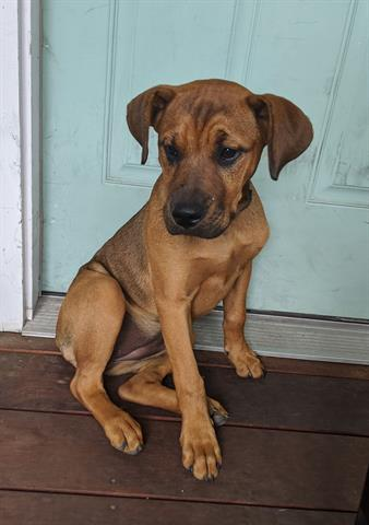 A stray brown Rhod Ridgeback Mix female dog about 3 months old (ID# A817823) was picked up at 4500 Avenue in F Austin, 78751. Latest info: http://www.petharbor.com/pet.asp?uaid=ASTN.A817823 …pic.twitter.com/7ICDtMig6i