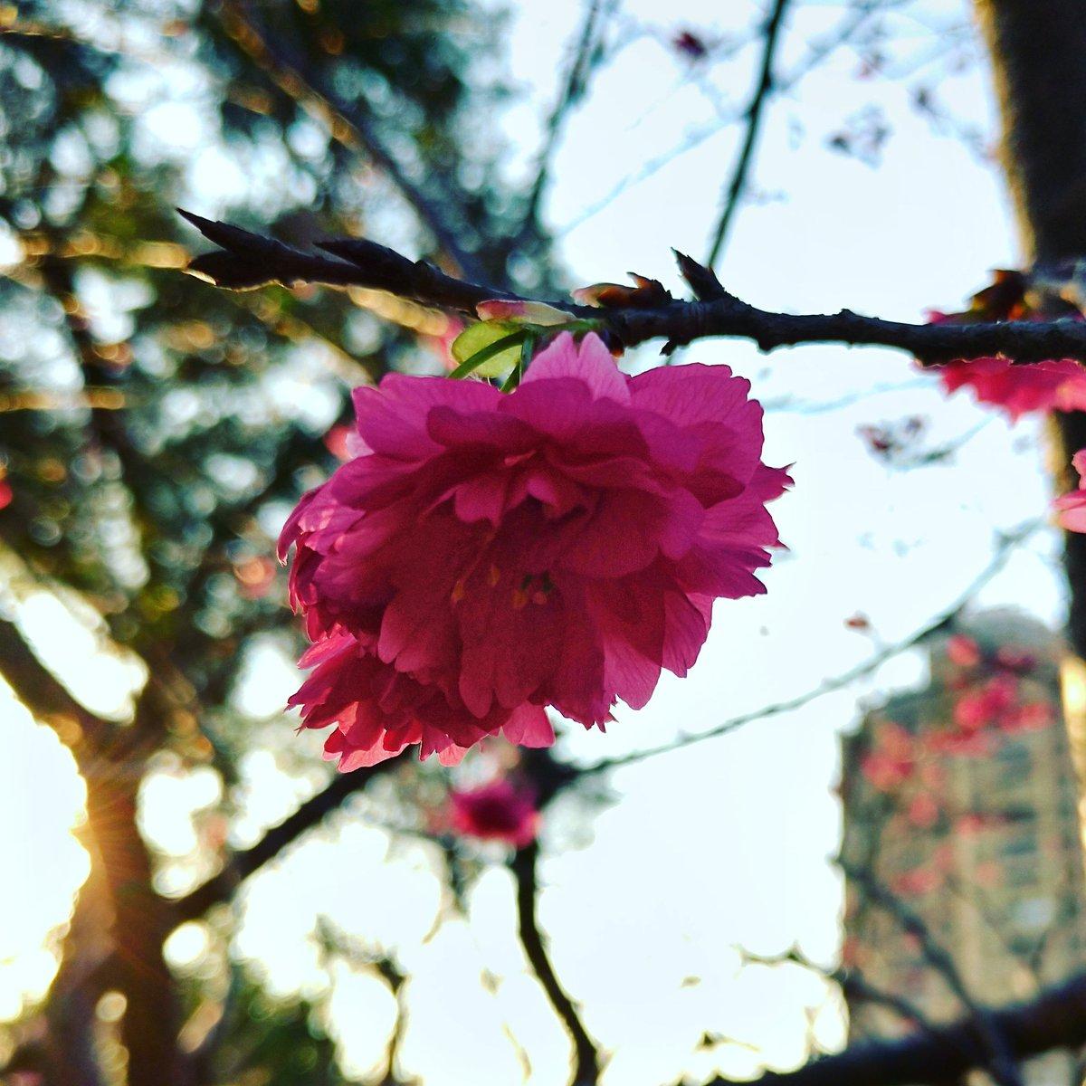 夕陽下拍的花 🌸 The flower under the setting sun #台灣 #新竹 #花 #Taiwan #Hsiunch #Flowers #台湾 #はな
