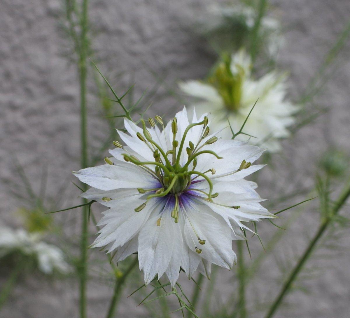 名古屋のお昼過ぎ、晴れで気温約26℃ 夏日越えで少し暑いです 皆様にとって穏やかな午後とりますように +やっぱり白い花が好き +ニゲラ / クレマチス +クレマチス / ペチュニア #花 #flowers