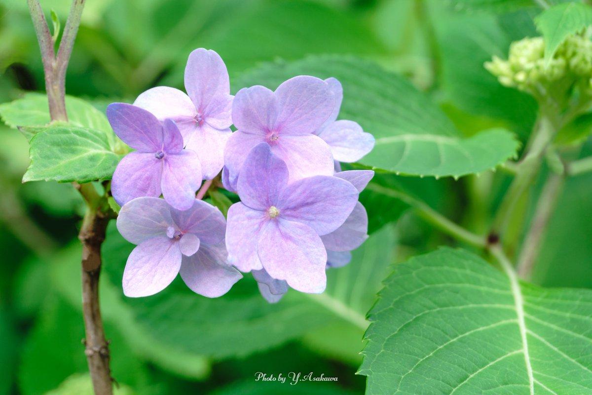 紫陽花さん♪ 紫陽花が咲き始めると梅雨の近付きを感じます(^^♪  #紫陽花 #hydrangea #パープルカラー #purple #flowers #flowerphotography