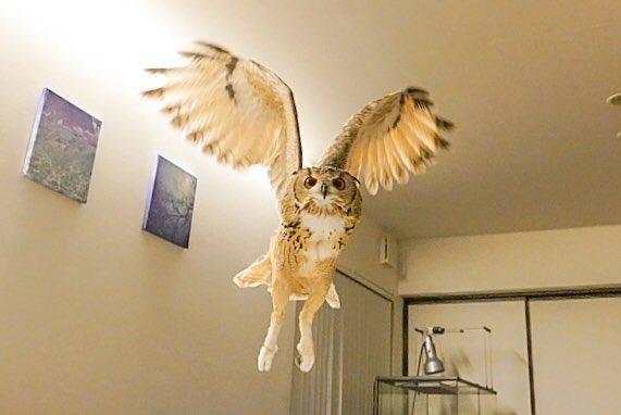 うちのフクロウがよく猫に間違われるので前足をつけたら空を飛ぶ猫になった