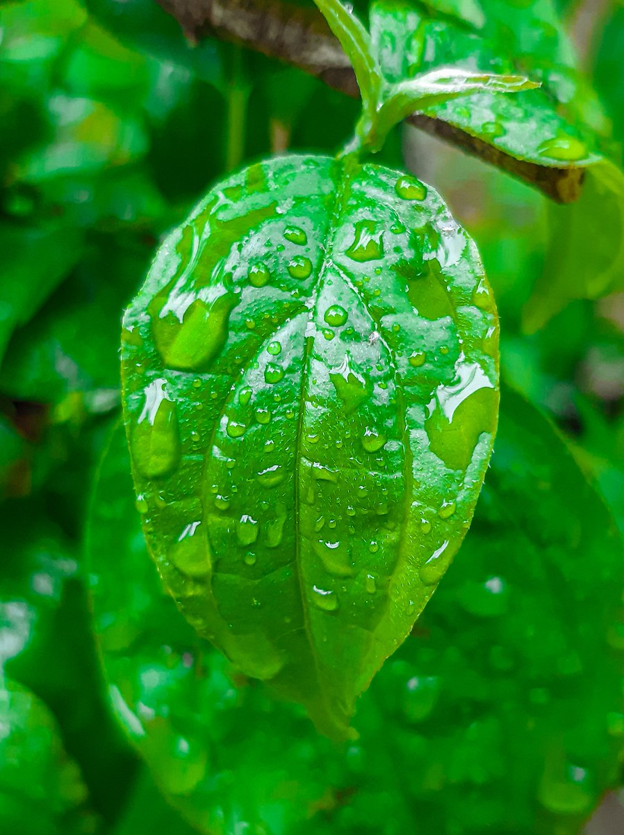 Rain makes leafs look awesome #Leafs #nature #naturelovers #naturelover #naturephotography #photography #photographyeveryday #photooftheday #photographyislife #photographylovers pic.twitter.com/bHtPpAyO6X