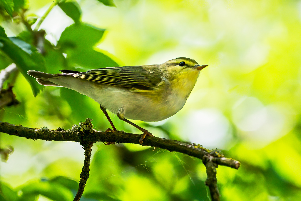 Wood Warbler (Phylloscopus sibilatrix) Taken on Cannock Chase, Staffordshire, UK 18/05/2020 @Staffsbirdnews @WestMidsBirding @WestMidBirdClub @BTO_Staffs #WoodWarbler https://t.co/iOX2kcrREv