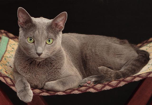 russian blue cat - HD1690×1168