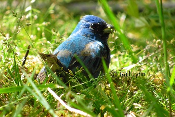 #TwitterNatureCommunity #birders #birdwatching Maybe I have more #Indigo #buntings here than I thought. Caught this one in my yard this afternoon eating a tasty morsels he found in the grass. Pretty cool! #Spring #naturepic.twitter.com/M3yECsmJqo