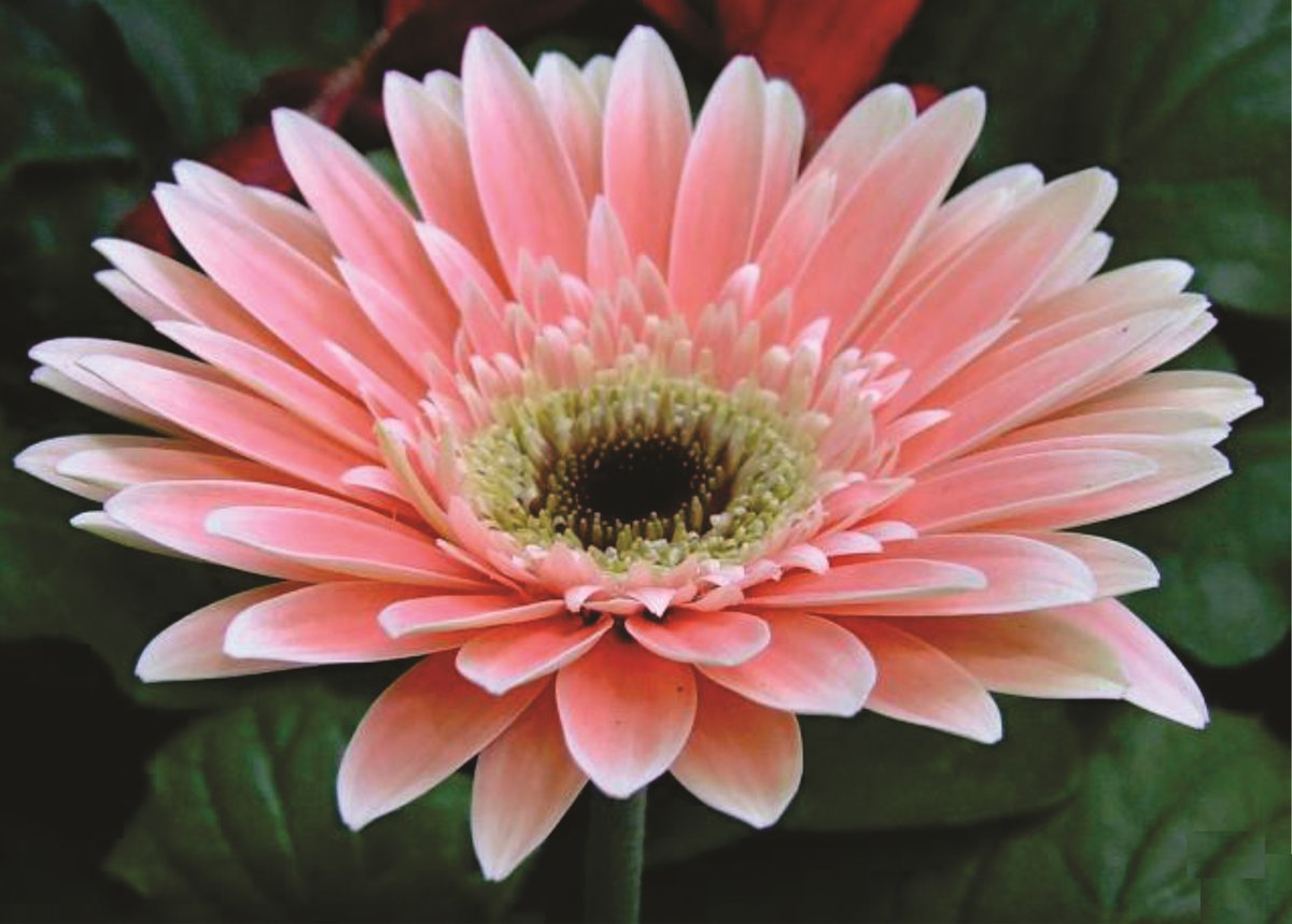 National flower of the island country of Cabo Verde ... the beautiful Gerbera flower ... <br>http://pic.twitter.com/USaSrdtlhC