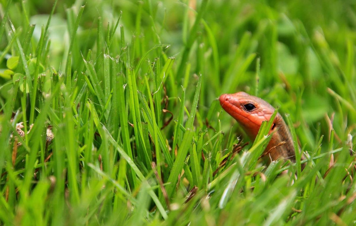 I caught this handsome fellow in full red-faced breeding regalia confidently cruising through the yard on the prowl for a lady five-lined skink today.  #LoveSkinks #lizardlove  #lizard #skinkpic.twitter.com/i721qjXixL