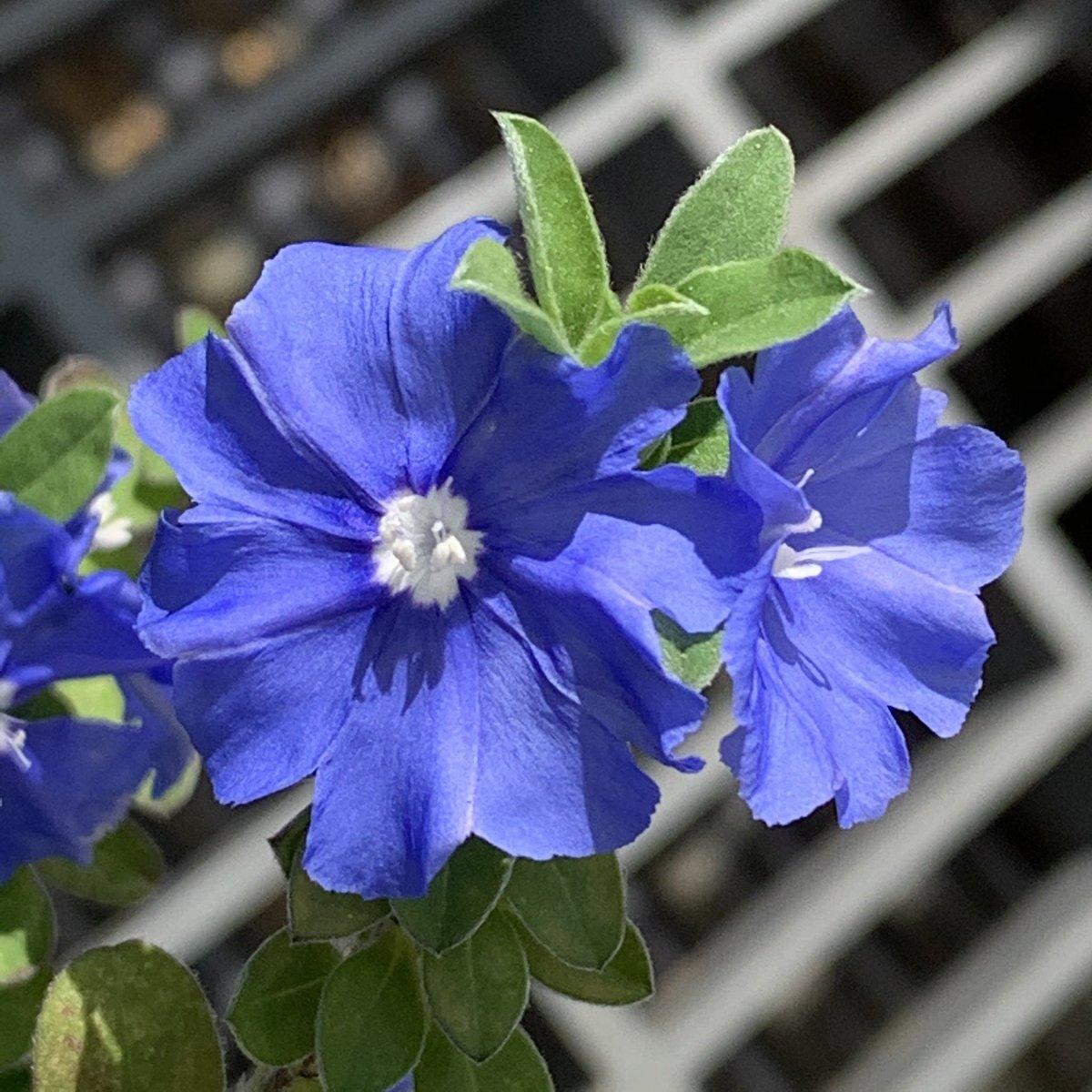 越し 冬 アメリカン ブルー
