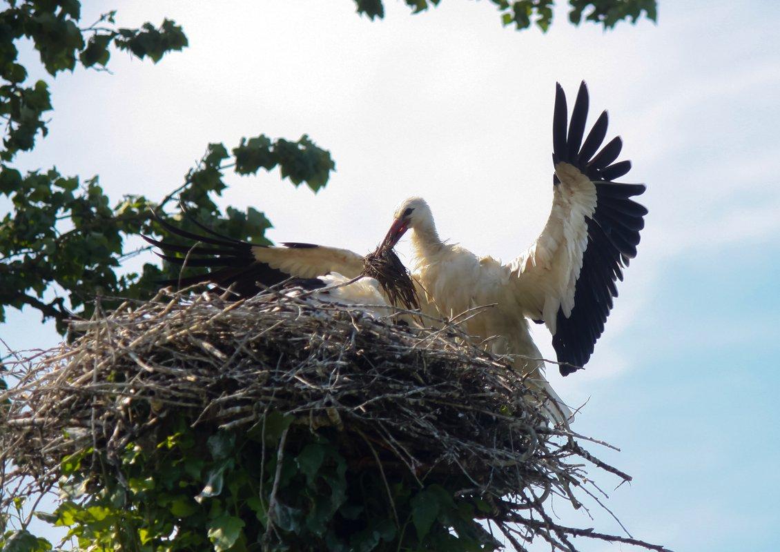 Картинки гнездо аиста на дереве