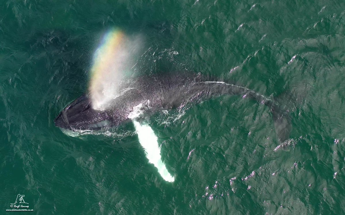 Humpback Whale rainBLOW 🌈 - drone pic from our encounter with this magnificent animal that was feeding close inshore off Aith, #Shetland on Sunday.