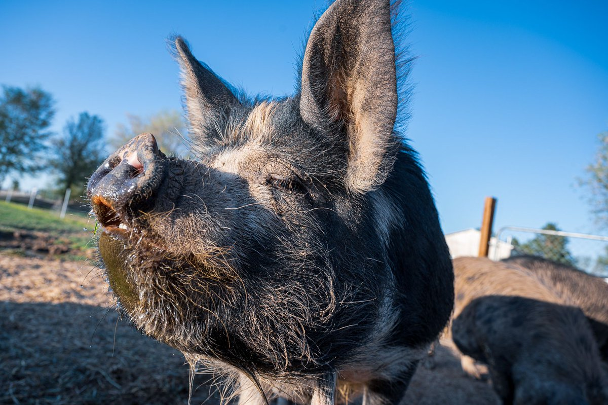 I guess it's animal close up week... First turkeys, now pigs. And I think this is the closest I've been to a pig that wasn't dinner...  #nikon #nikonz6 #idaho #piggypic.twitter.com/Oq5CVGieLK