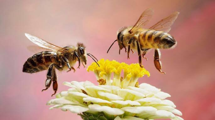 Losing #pollinators mean losing food. - 85% of all #plants exist because of bees. - 1/3rd of all #food we eat, depend on pollinators. - they are backbone of food #security. Now they are facing colony collapse disorder due to #chemicals & #pollution. #WorldBeeDay