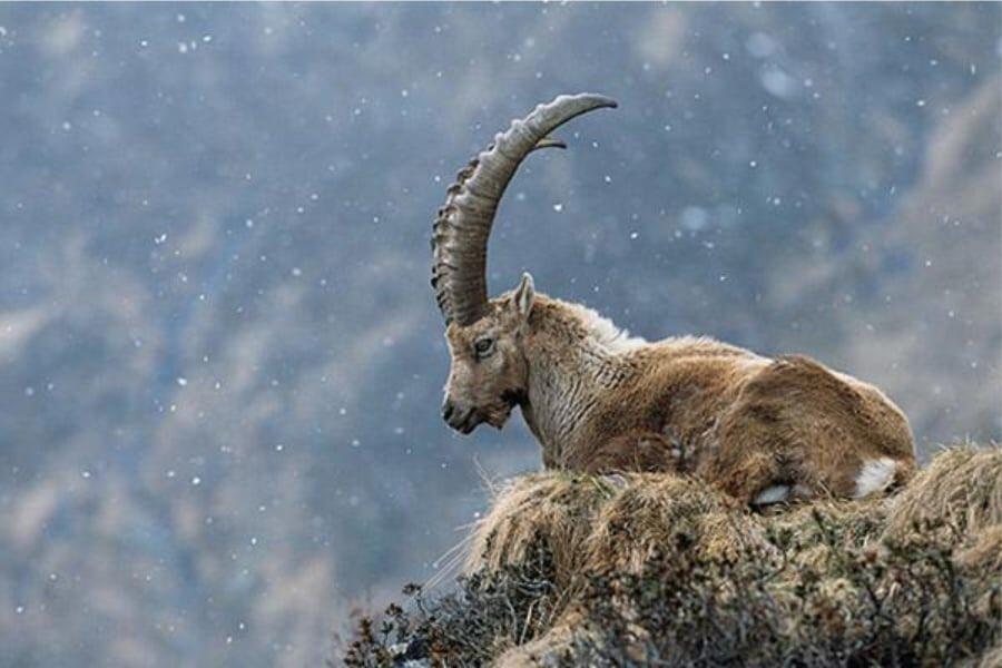 """Benasque в Twitter: """"El BUCARDO, extinto desde el año 2000, formaba parte  de la fauna del valle de Benasque. Los últimos bucardos habitaban en la  zona de Vallibierna y, como tal, un"""