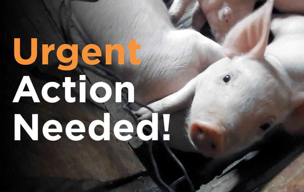 """ACTION NEEDED:  The US Senate will vote on the """"HEROES Act"""" which funds """"depopulation"""" -- mass on-farm slaughter w/ brutal methods.  RT to encourage every American to contact their Senators (w/ this link) to add language to PROTECT animals, not HURT them.  https://t.co/ayReDmGGFZ https://t.co/SJg49W2AeY"""