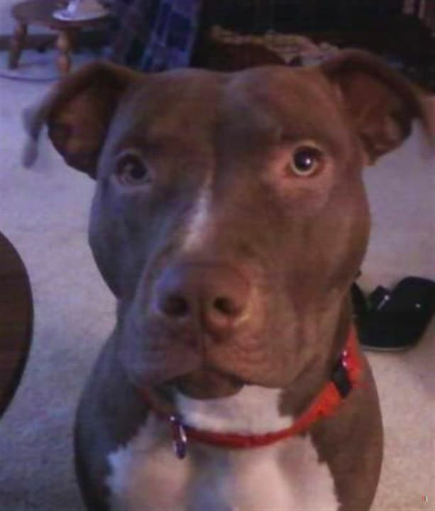 #Lost #Pekin #IL (Route 29 & Chester L) Noel - Female Pit Bull Red / White Phone: (309) 267-3450 if seen or found. Friendly. Tazewell Co. 61554. 05-19-2020.  Missing w/Rose  More Info, Photos and to Contact: https://ift.tt/2zU4zYt   To see this pet's lo… https://ift.tt/2Tlc55y pic.twitter.com/C1JmUT6Cyb