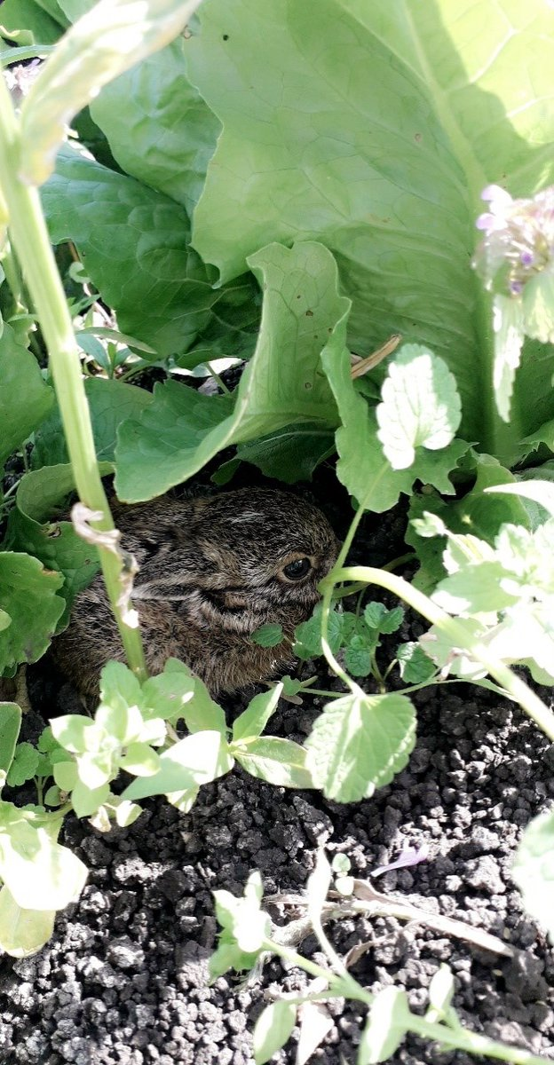 This tiny leveret hidden amongst the romaine lettuce elicited lots of 'ahs' in 3 different languages this morning.