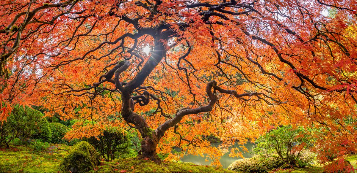 Japanese maple in Portland, Oregon  #nature #NaturePhotography #naturelovers #USApic.twitter.com/ZtrI3ZWpNV