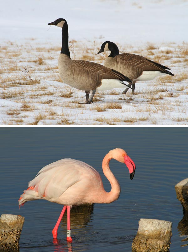 Ecology and Evolution of Blood Oxygen-Carrying Capacity in Birds Piotr Minias  Blog: https://t.co/QnrHEzfIvu  Ms: https://t.co/YpqZTpMUtx  High-latitude species (e.g. Canada geese) have higher blood oxygen-carrying capacity than low-latitude species (e.g. greater flamingo https://t.co/Um5kevBsyR