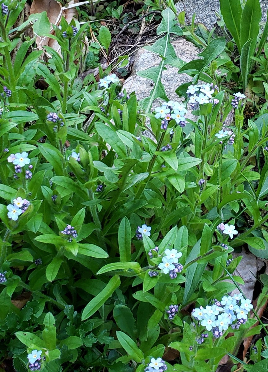 Forget-me-not forest