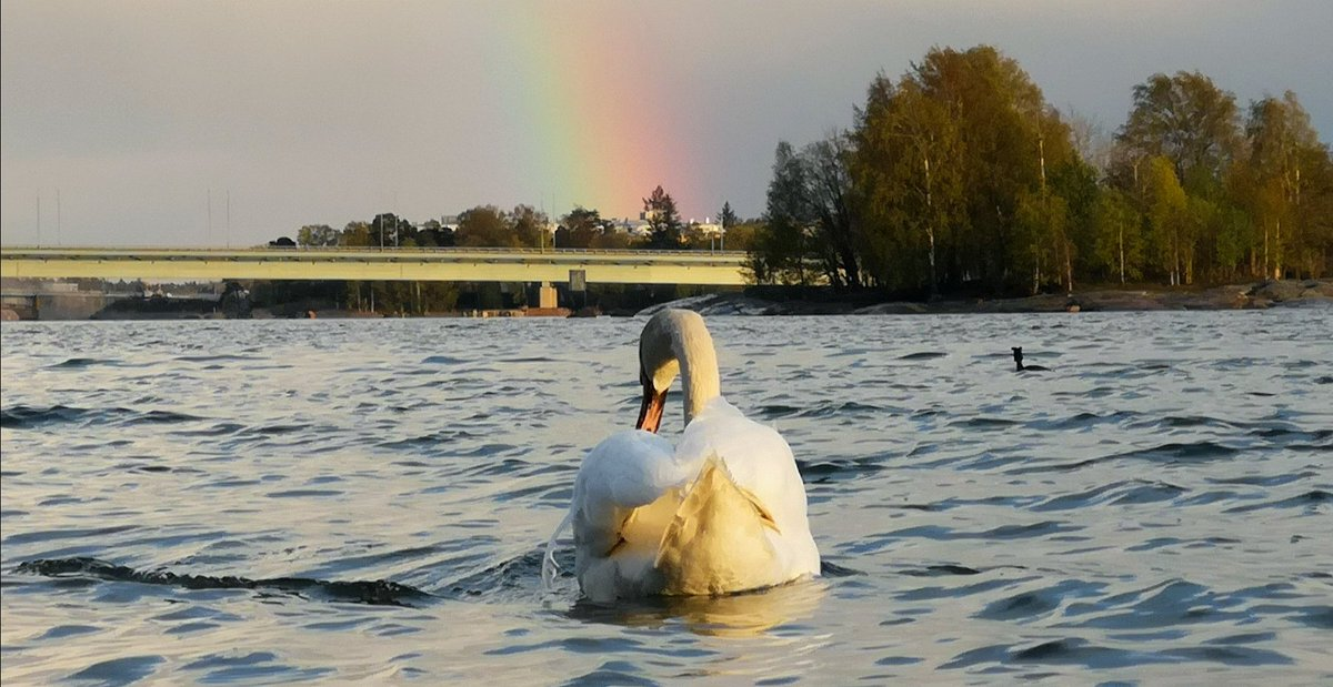 MT @Laku_Lance: Natural beauty in #Helsinki, #Finland. The whooper swan, #Finland's national bird, features in #Finnish folklore and culture, from the Kalevala folk epic to the works of composer Jean Sibelius.pic.twitter.com/JPGFjID3fr