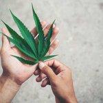 Image for the Tweet beginning: #cannabis #marijuana #weed COVID-19 cannabis