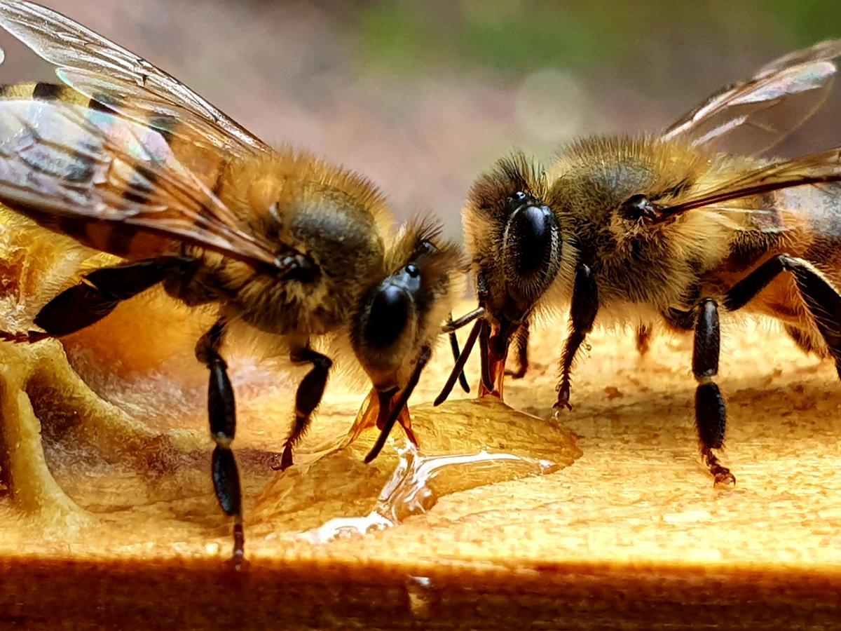 Día de las abejas... seres extraordinarios Producción de miel orgánica.  Guatemala @ecocolmena #DiaDeLasAbejas pic.twitter.com/fzxPmkYH0B