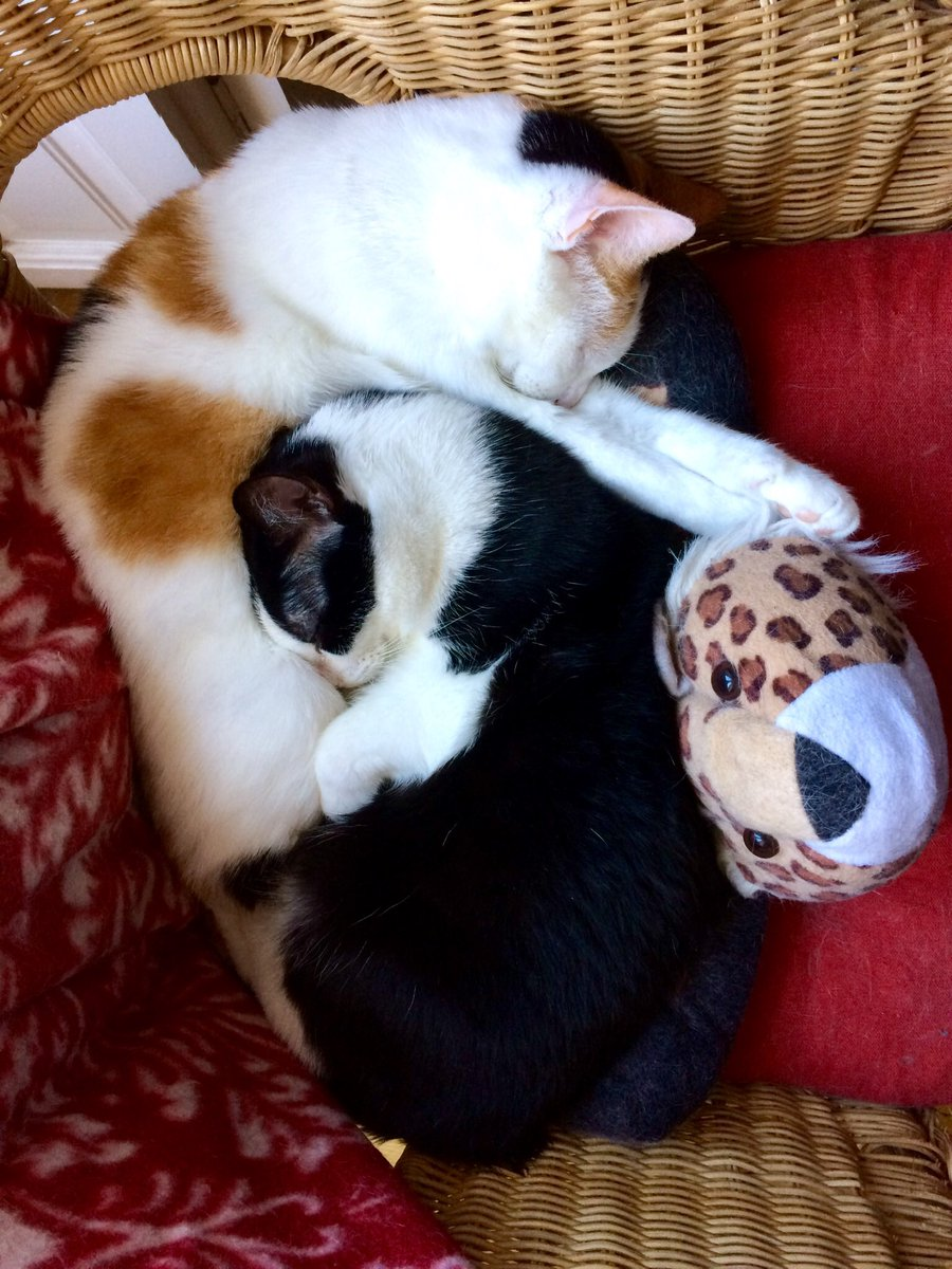 When it comes to sleeping, we really fit together!  #fluffyfursday #CatsOfTwitter #gatos #gatetes #CalicoCrew #tuxietude #ThursdayThoughtspic.twitter.com/gkKC5jjmzq