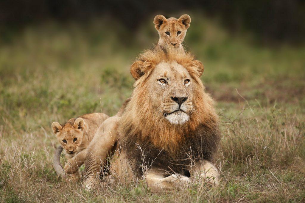 Image Lion everyday   @LionPassion2   #lioncub #lioncubs #lionbabe #lionbaby #liontatoos #wildlifepictures #lionofinstagram #kingofthejungle #bigcatsofinstagram #bigcatsforever #lionsofinstagram #savethelions #wildafrica #safariphotography #wildanimal #lionlovepic.twitter.com/QrlZQIc0ZP