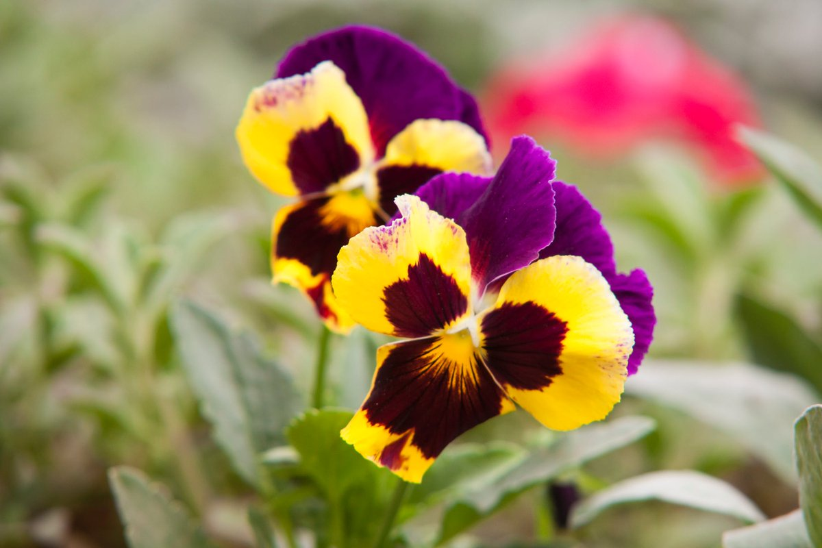 Pansies, such beautiful flowers. What's your favourite colour? Mine has to be yellow and purple, the colours go lovely together! have a great day, the bank holiday and normality are just around that corner now x http://www.smithsofnewcastle.co.uk  #earlybiz   #spring   #springflowerpic.twitter.com/NTGcHEEl2u